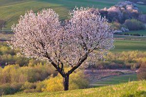Cómo podar los cerezos sin dañar el árbol