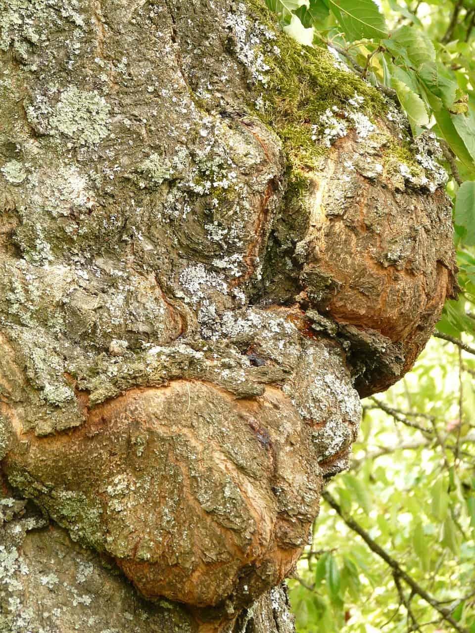 Chancro enfermedades y plagas del cerezo