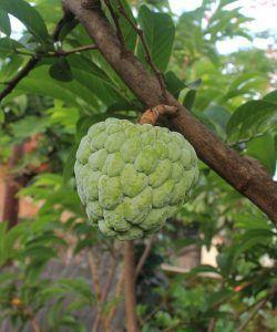 el cultivo de chirimoyas