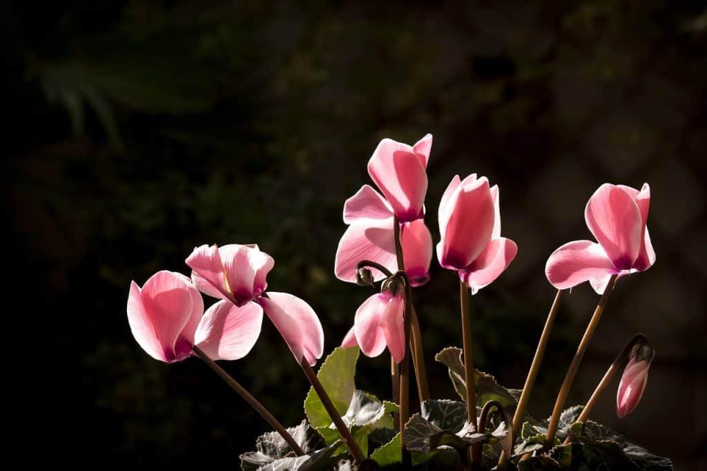cómo plantar ciclamen