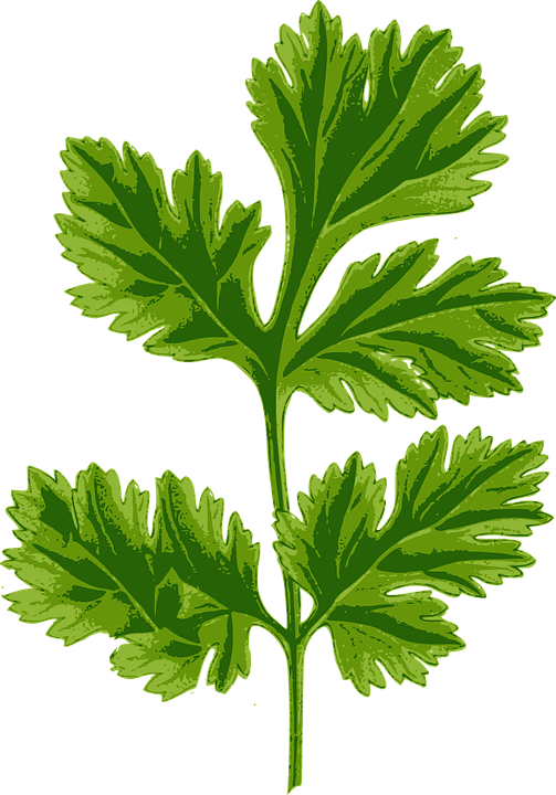sembrar cilantro