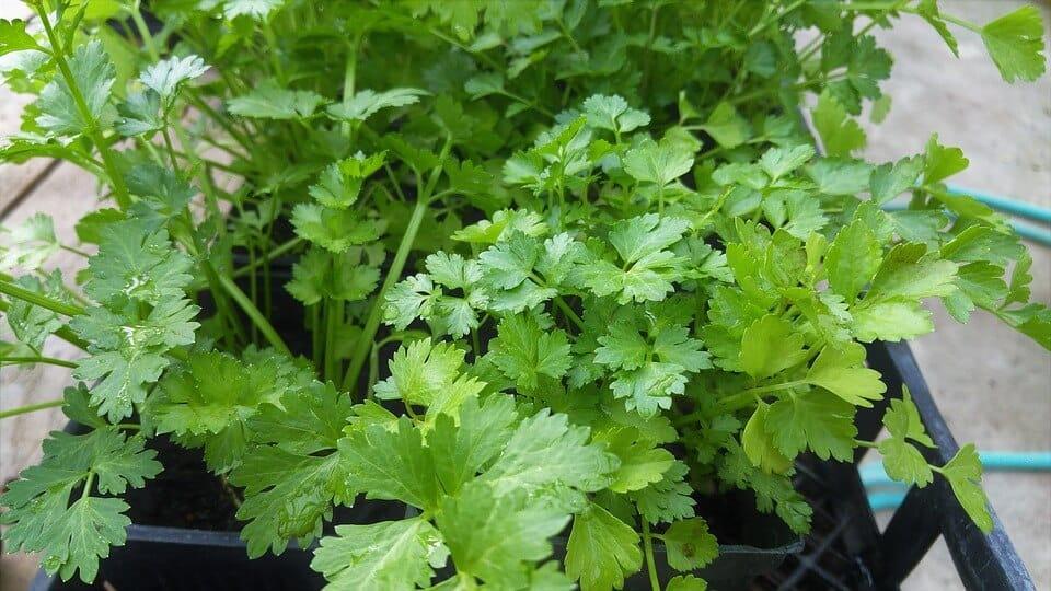 sembrar cilantro 2