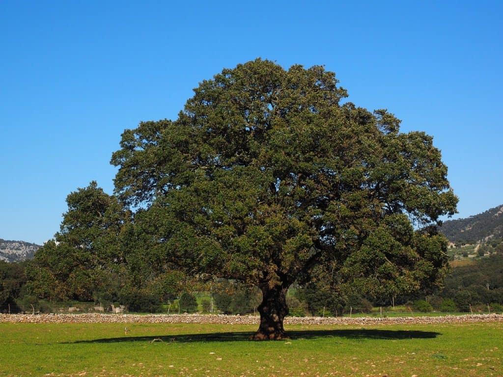 Cinnamomum hojas perennes