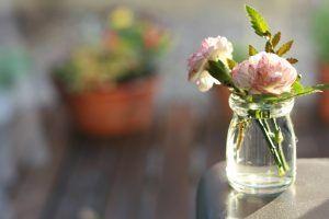 Cómo debemos tomar los esquejes de clavel en agua para sembrarlos
