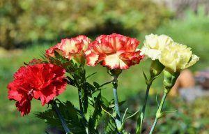 Plagas y enfermedades de los claveles
