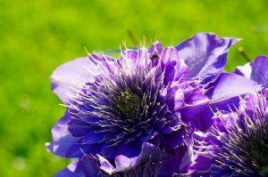 Flores azules clemátide