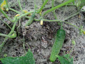 cómo abonamos para sembrar pepinos