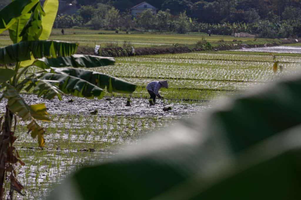 cómo cultivar arroz
