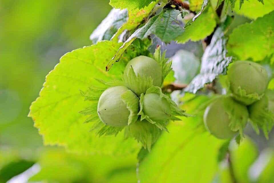 cómo cultivar avellanas