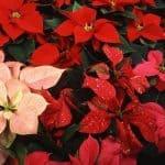 cómo cultivar la flor de pascua