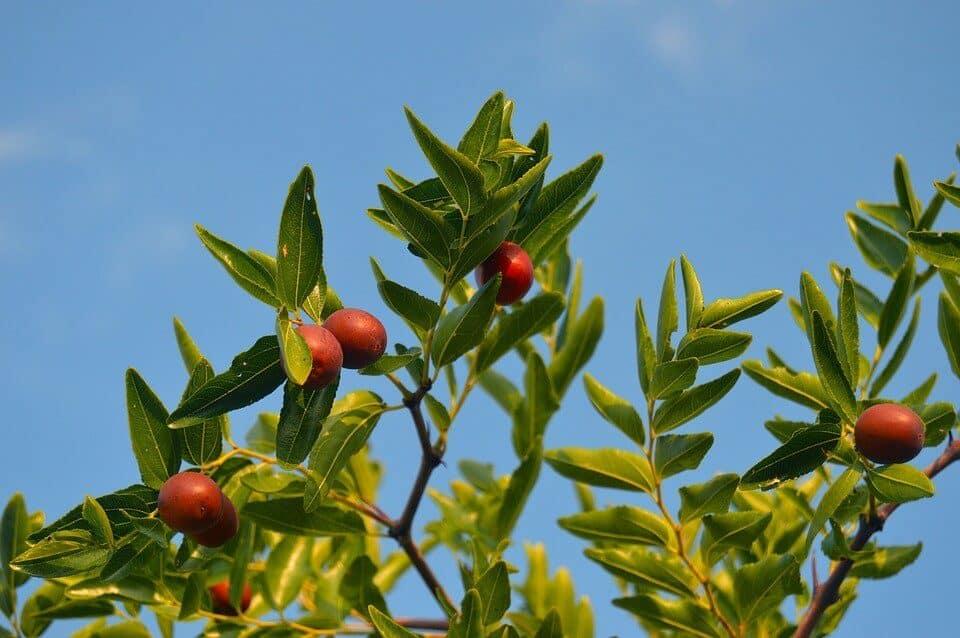 cómo cultivar pistachos