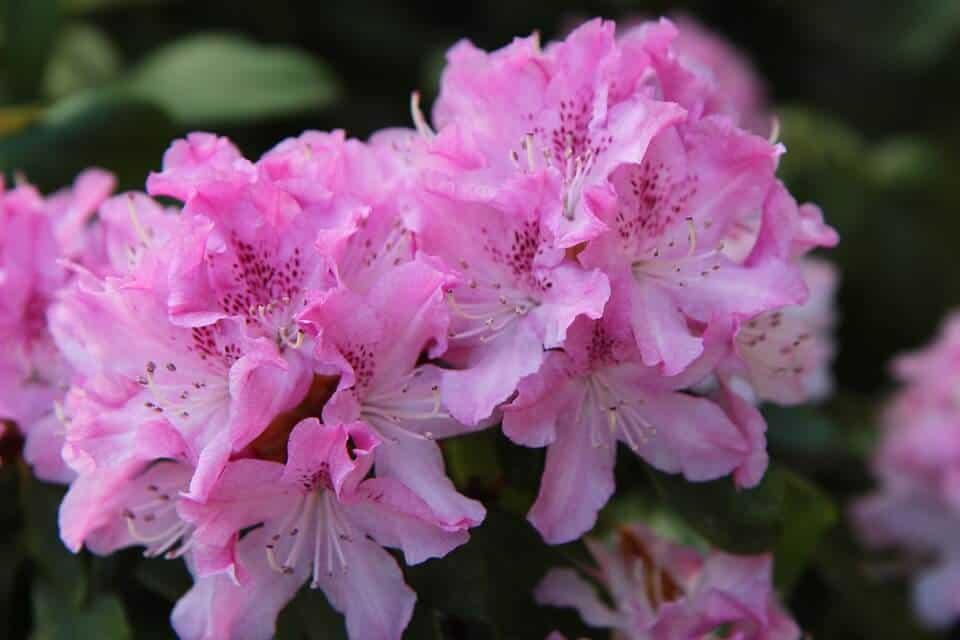 cómo cultivar rododendro