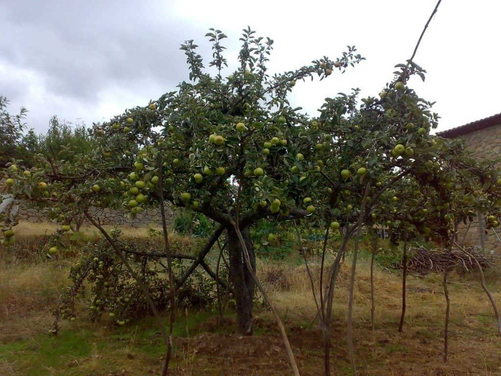 cómo cultivar un manzano