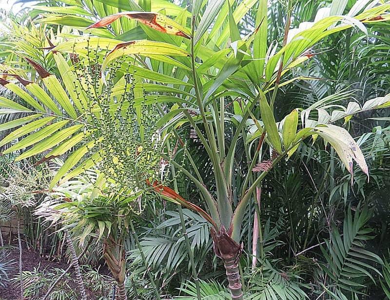 cómo hacer crecer una palmera de salón