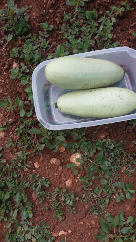 cómo plantar calabacines