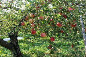 cómo plantar un manzano