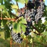 Cómo Sembrar Vid y Conseguir Uva (o Vino) de Primera Calidad: [Guía Completa]