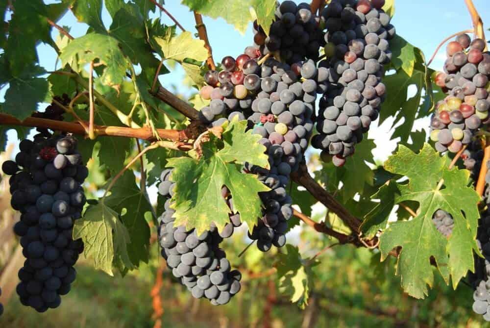 cómo plantar uvas