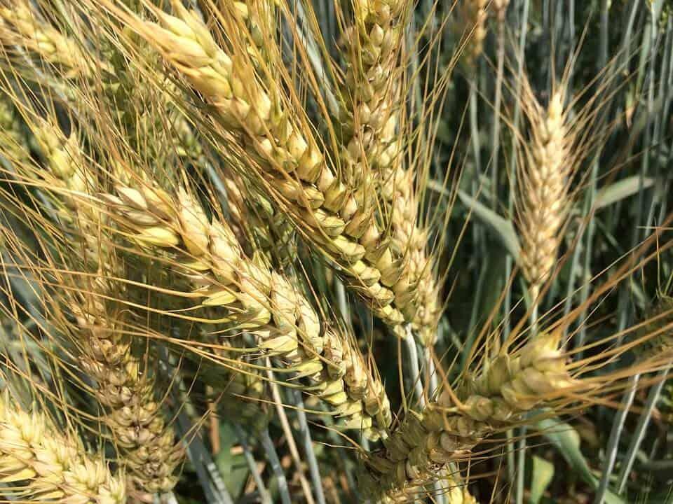 cómo preparamos la tierra para sembrar trigo
