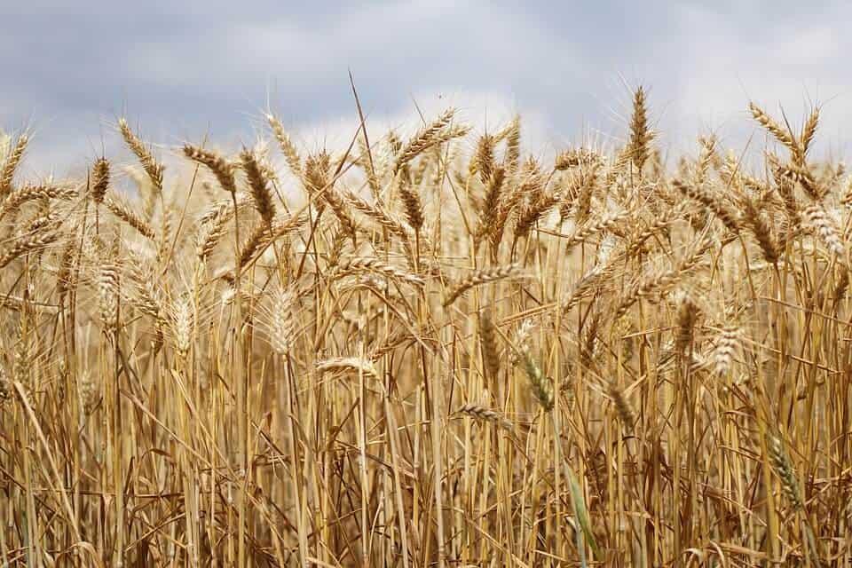 cómo regar el trigo