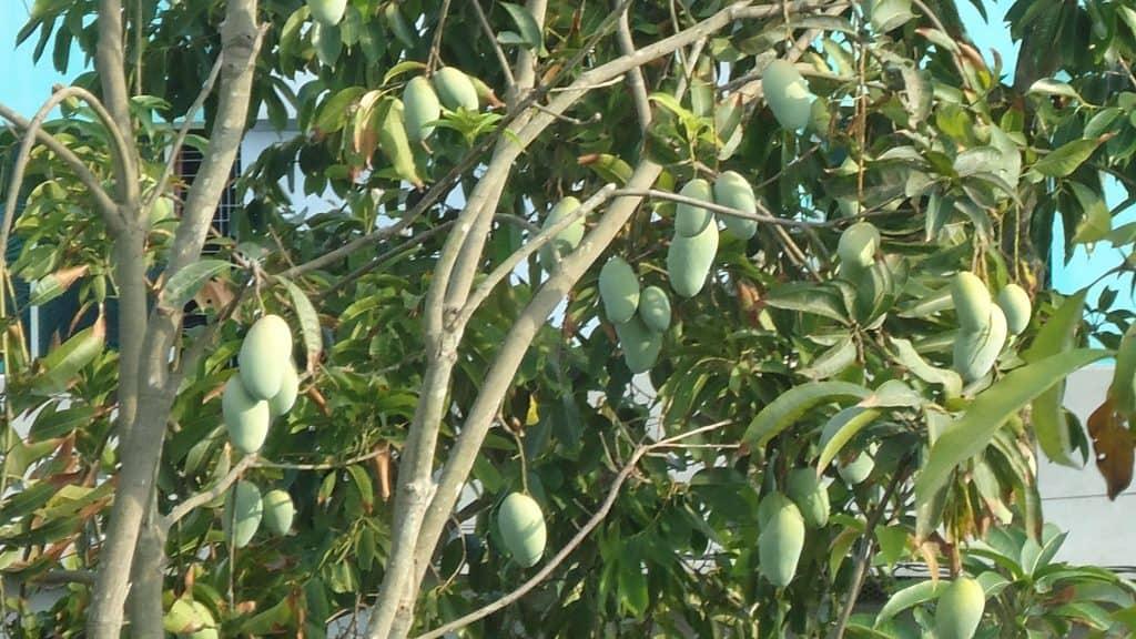 cómo sembrar mango 2