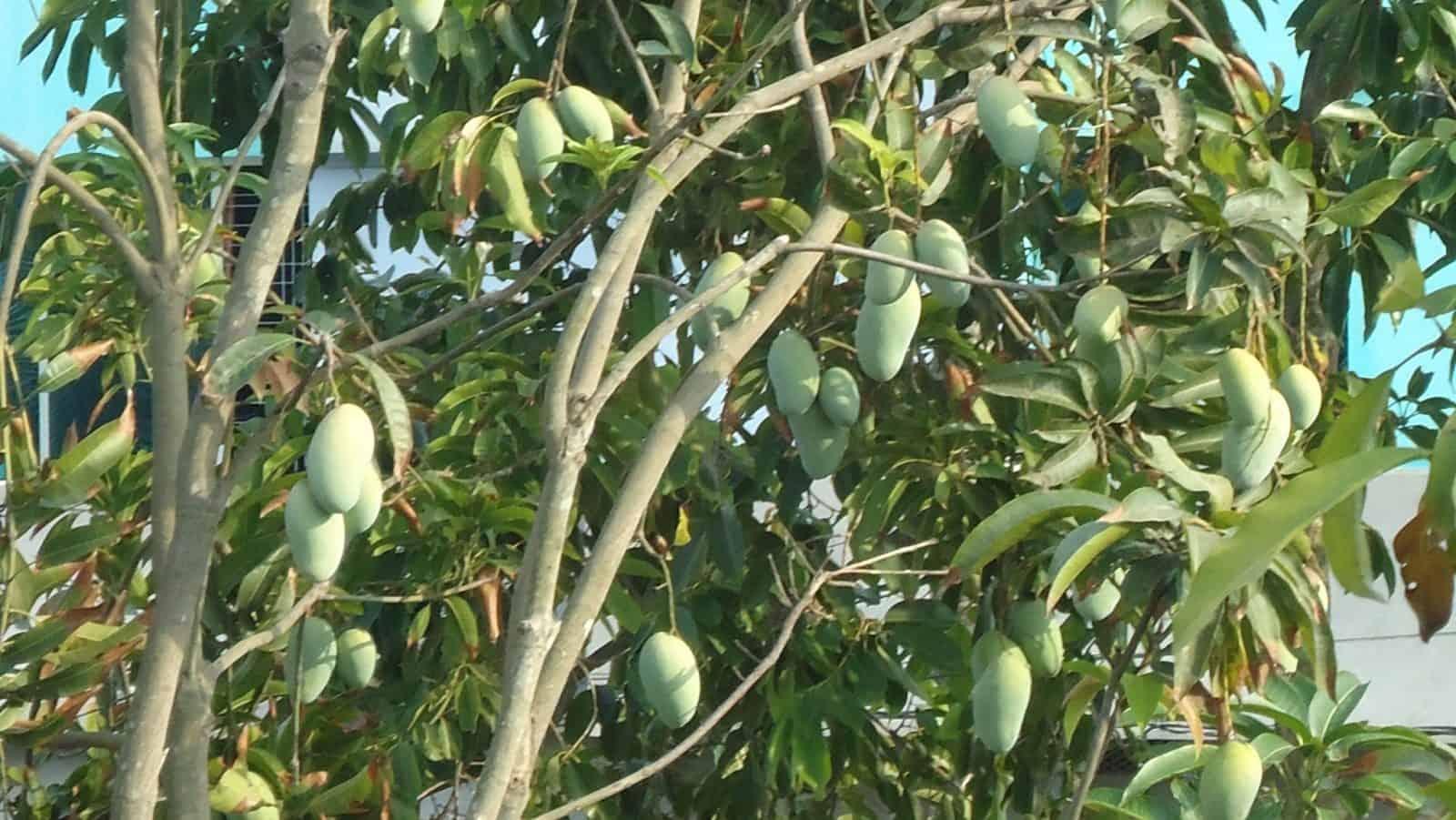 Cómo Sembrar Mango La Guía Que Necesitas 12 Pasos