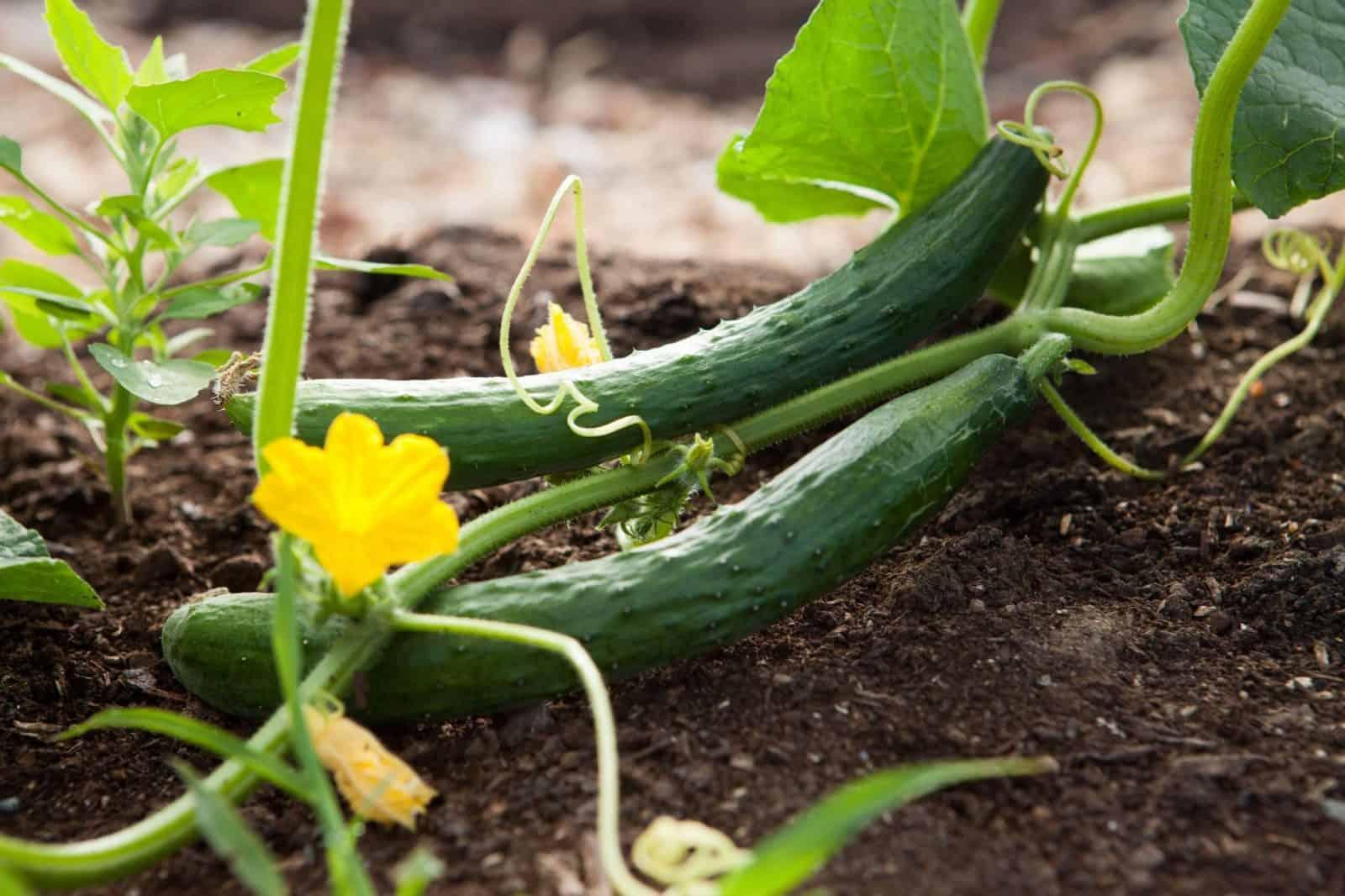 cómo sembrar pepinos