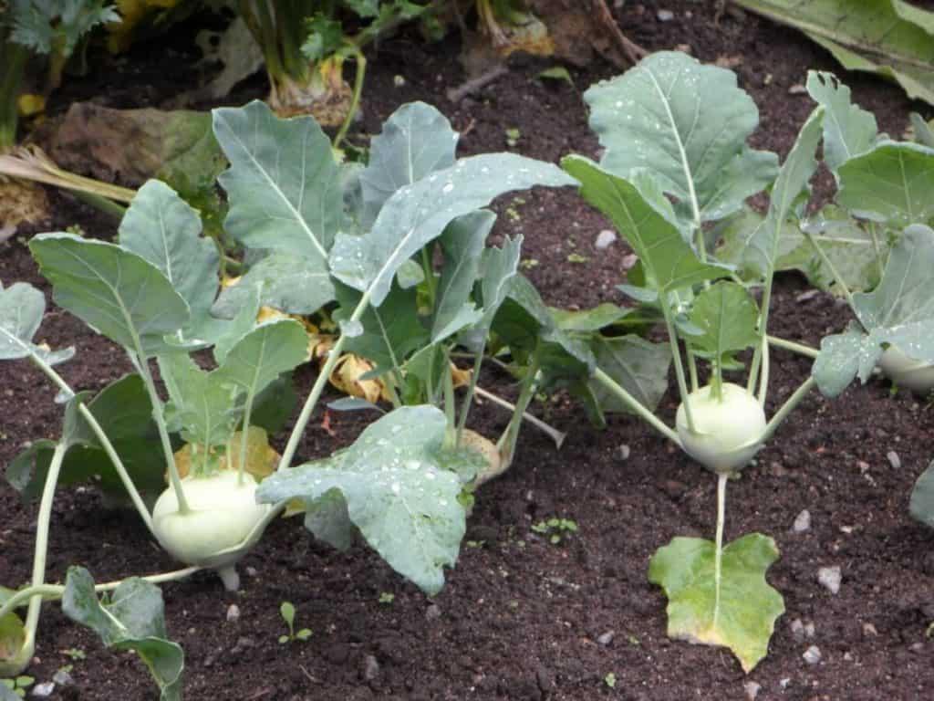 cómo sembrar rábanos