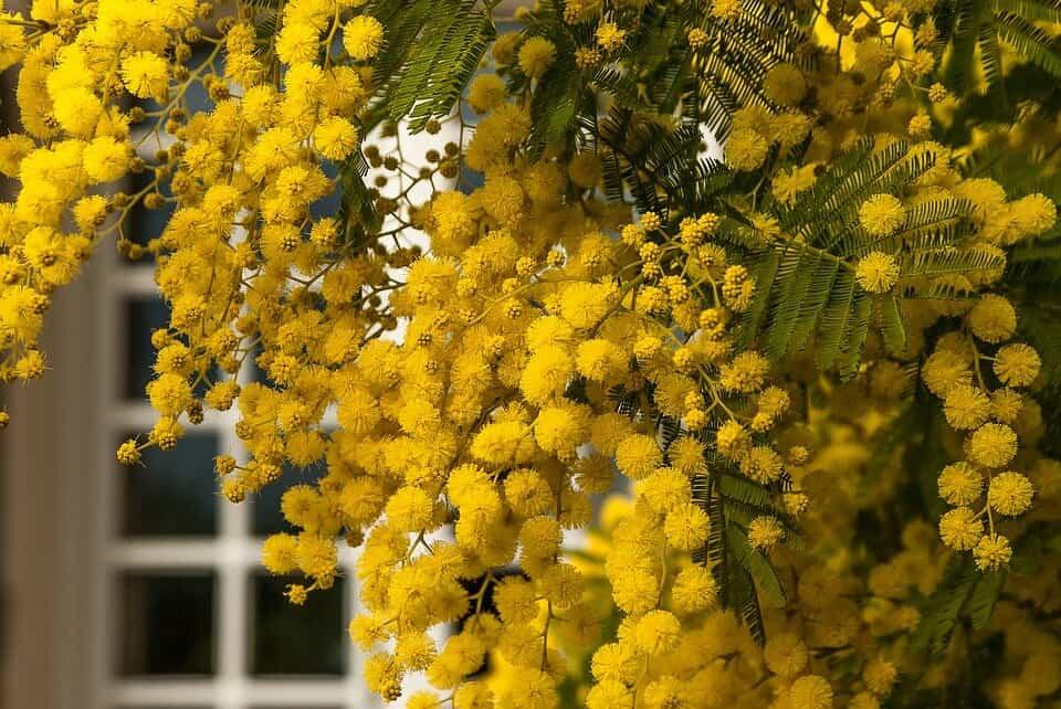 cómo sembrar una mimosa