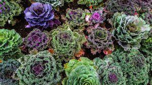 Cómo cultivar Kale en tu huerto