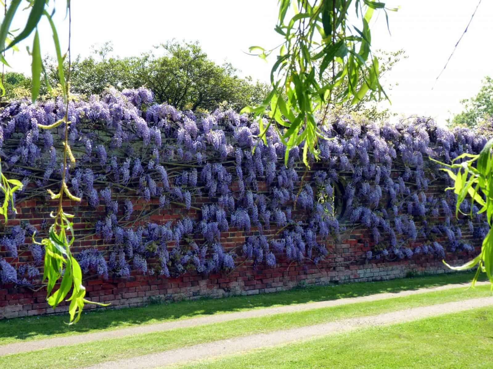 como cultivar wisteria