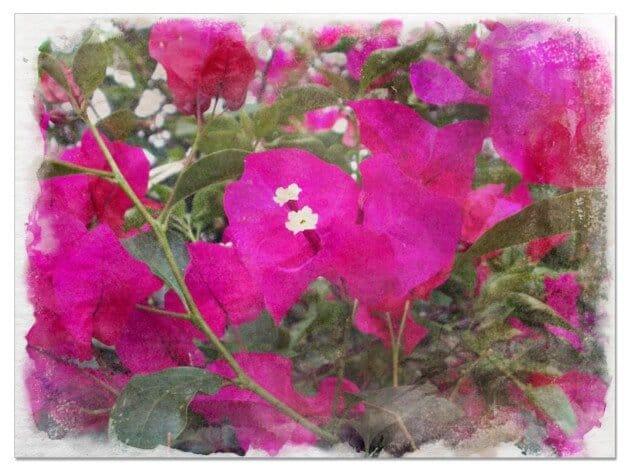 como plantar buganvilla en el jardin