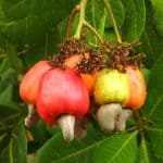 como sembrar anacardos