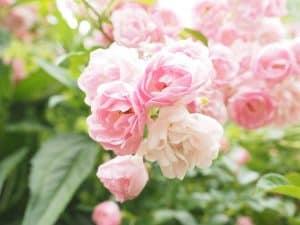 como sembrar rosas