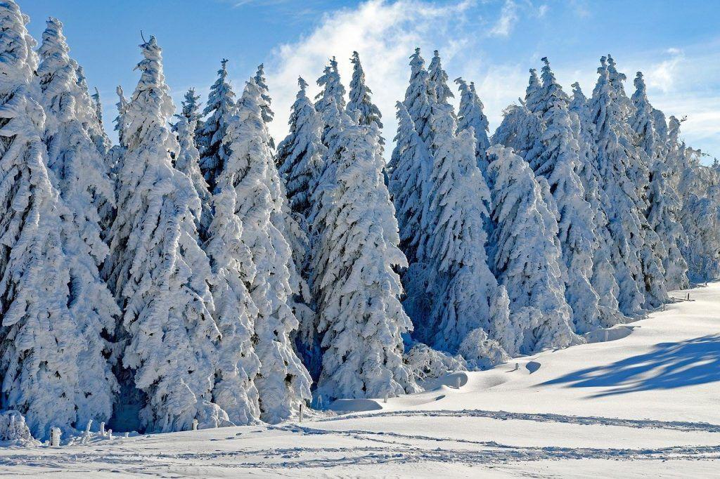 Coníferas en invierno
