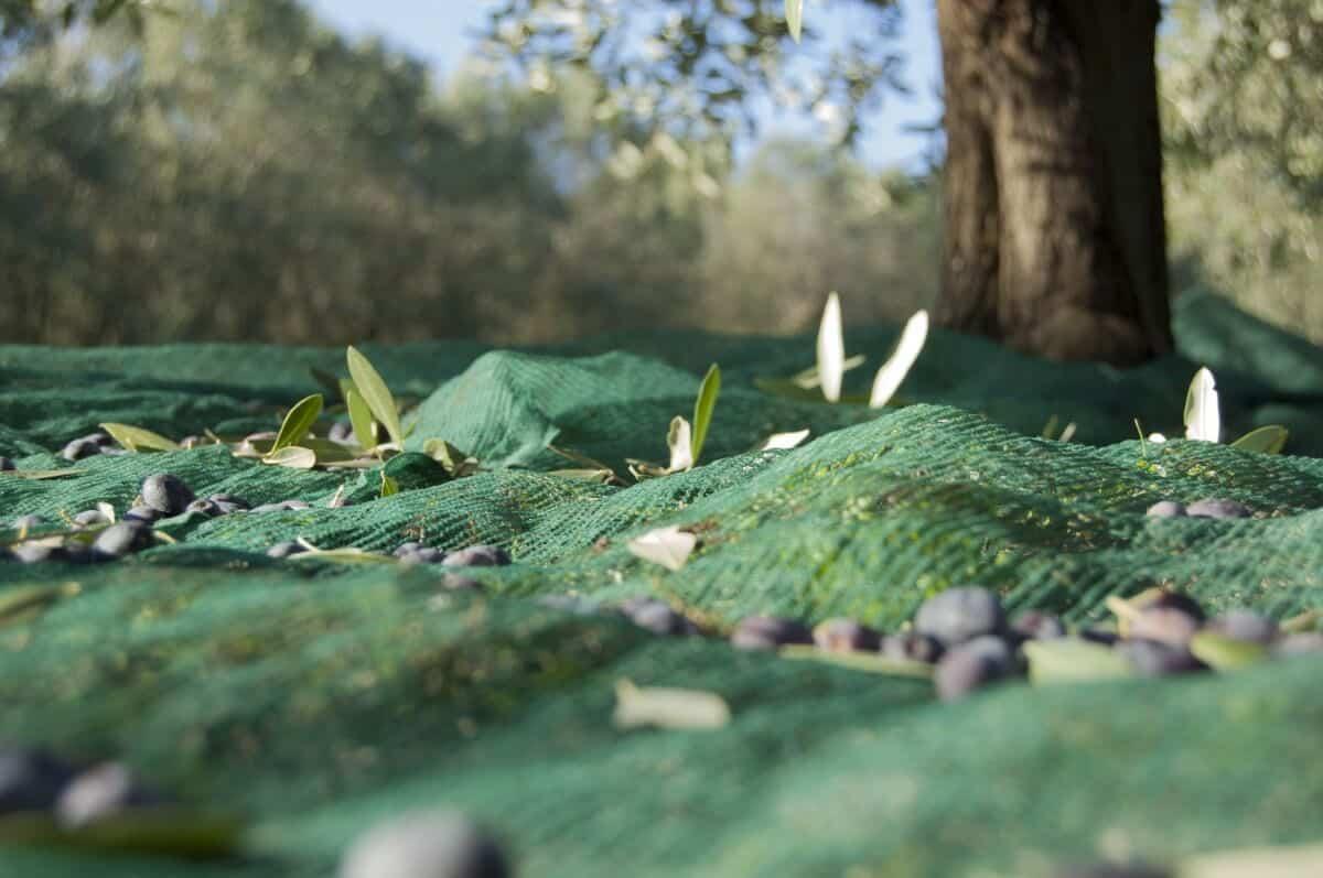 cosecha de olivas