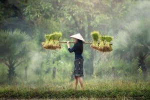 Cosecha y recolección del arroz