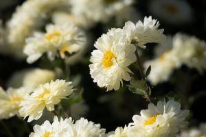 Cómo se multiplican los crisantemos
