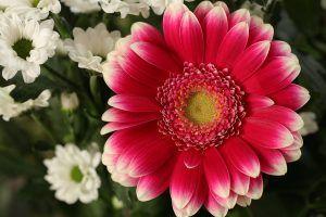 Cuándo es mejor llevar a cabo la poda de crisantemos