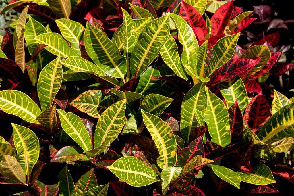 Croton planta de exterior resistente