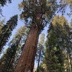 El Árbol más Grande del Mundo: [Altura, Ubicación y Características]
