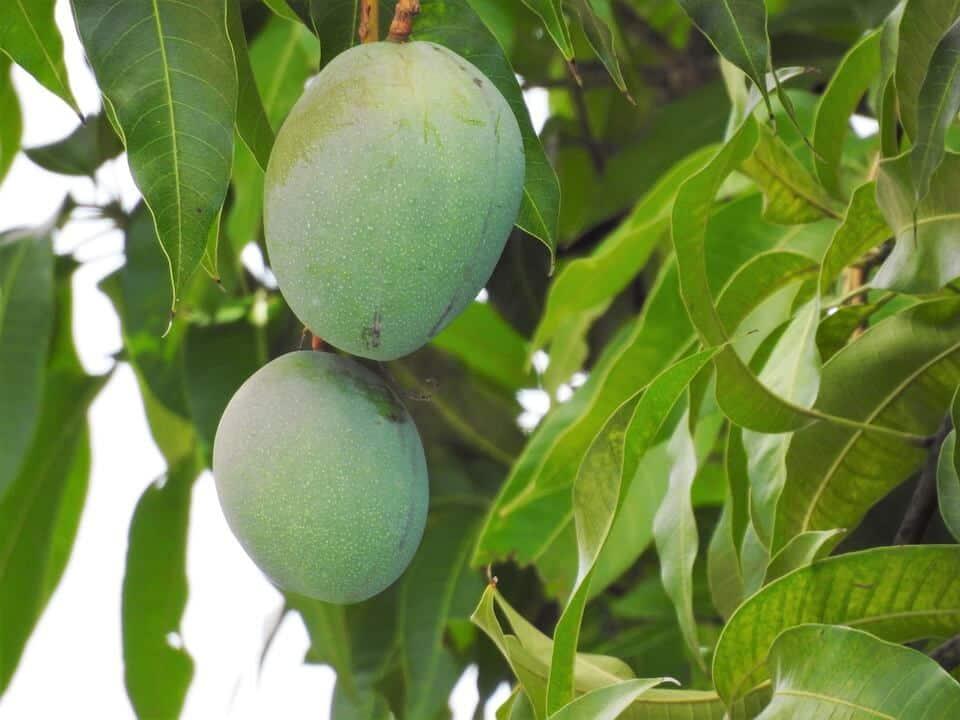 cuando se cosecha el mango