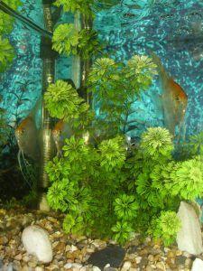 Cuidados y plantación de la ambulia