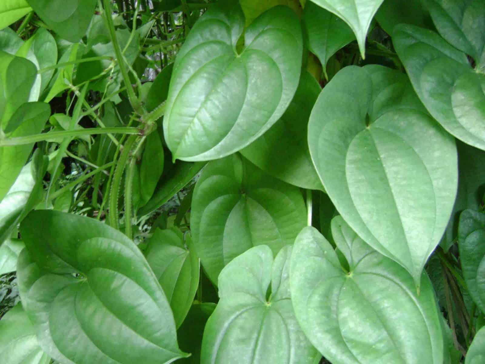 cultivar ñame