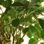 cultivar ficus