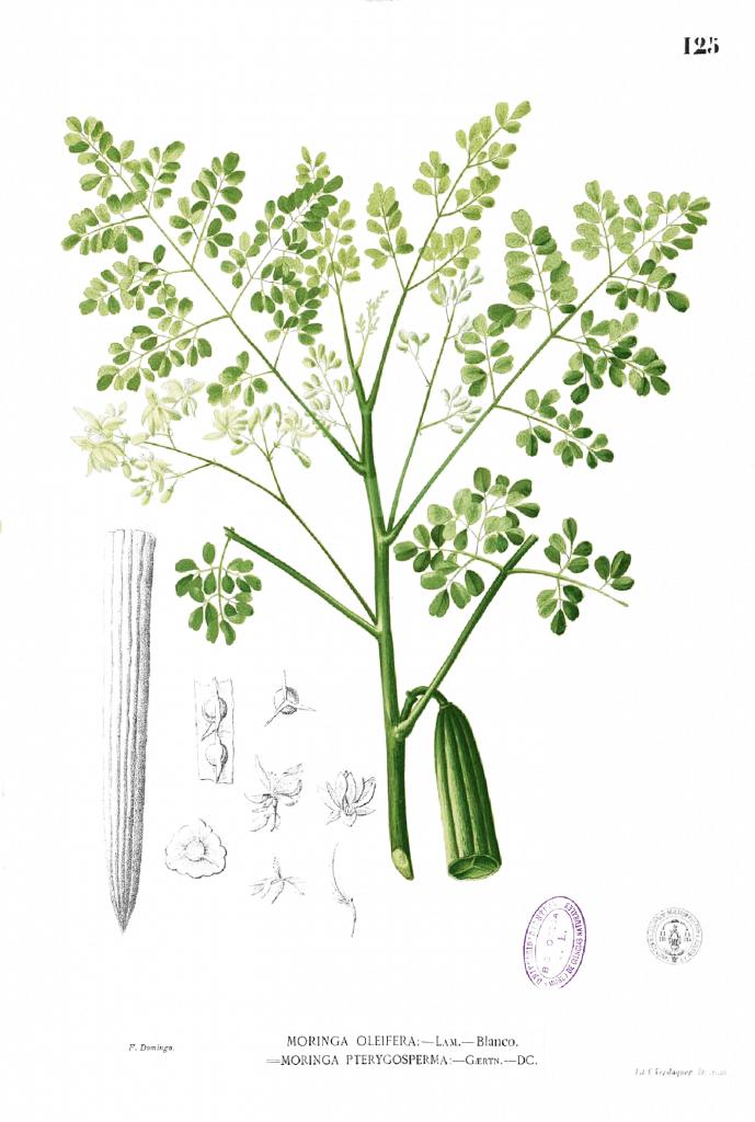 cultivar moringa