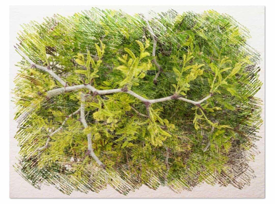 cultivar paso a paso jinjolero o azufaifo