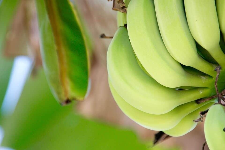 cultivar plátano