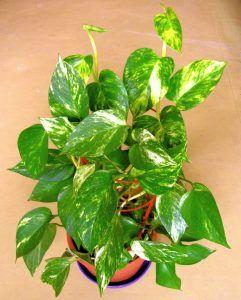 cultivar potos en tu jardín