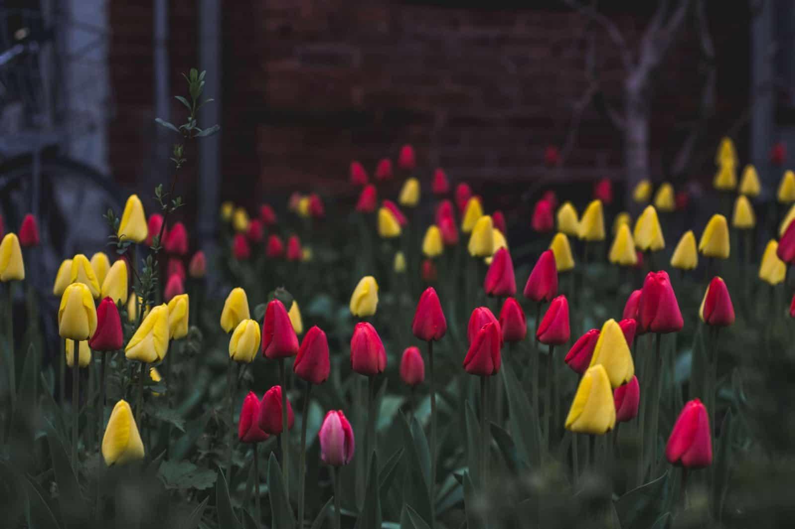 cultivar tulipán